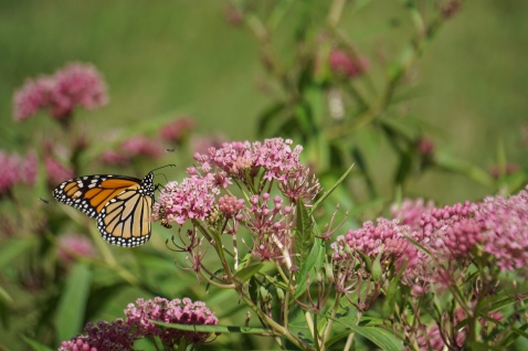 monarch-butterfly-on-rose-milkweed